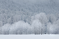 Frosted trees in the Methow Valley near Mazama Washington