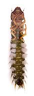 Helgramite or Dobsonfly larva (Corydalus cornutus) - larva<br /> TEXAS: Val Verde Co.<br /> Devils River at Dolan Falls; 13.3 mi W of Loma Alta<br /> 14-16.Sep.2012  N29.88531 W100.99407<br /> J.C. Abbott #2623 & K.K. Abbott