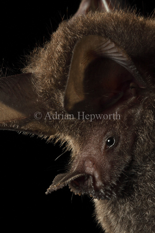 Frog-eating Bat (Trachops cirrhosus), La Selva Biological Station, Costa Rica. <br /> <br /> For pricing click on ADD TO CART (above). We accept payments via PayPal.