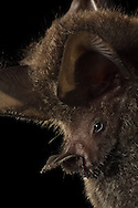 Frog-eating Bat (Trachops cirrhosus), La Selva Biological Station, Costa Rica. <br />