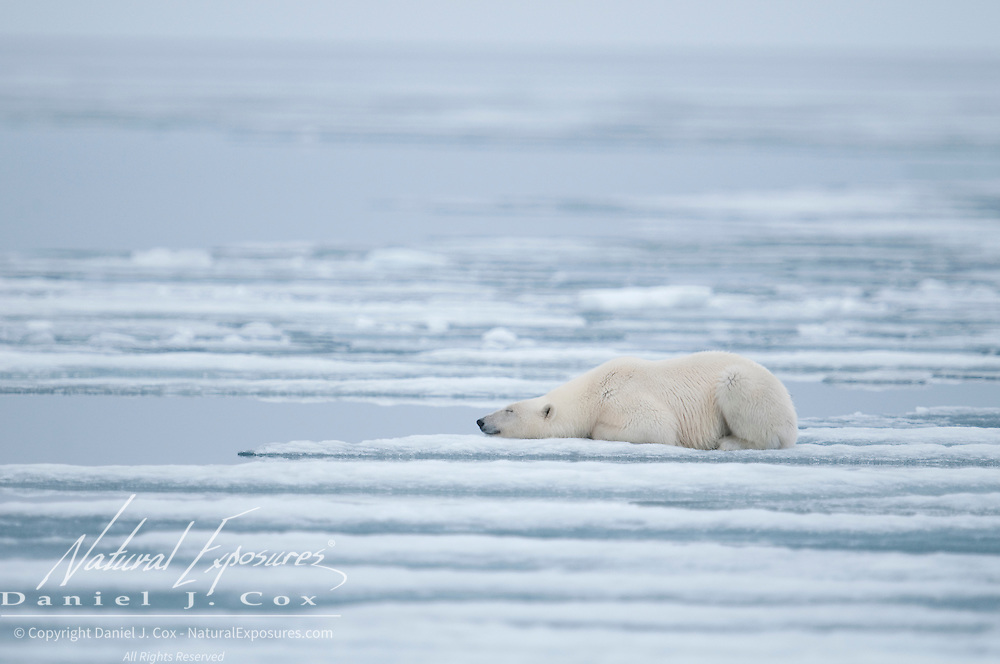 A polar bear lies next to a lead waiting for a seal to surface. Svalbard, Norway