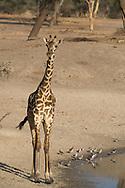 A baby Massai Giraffe (Giraffa camelopardalis) at a watering hole in Tarangire National Park, Tanzania, Africa