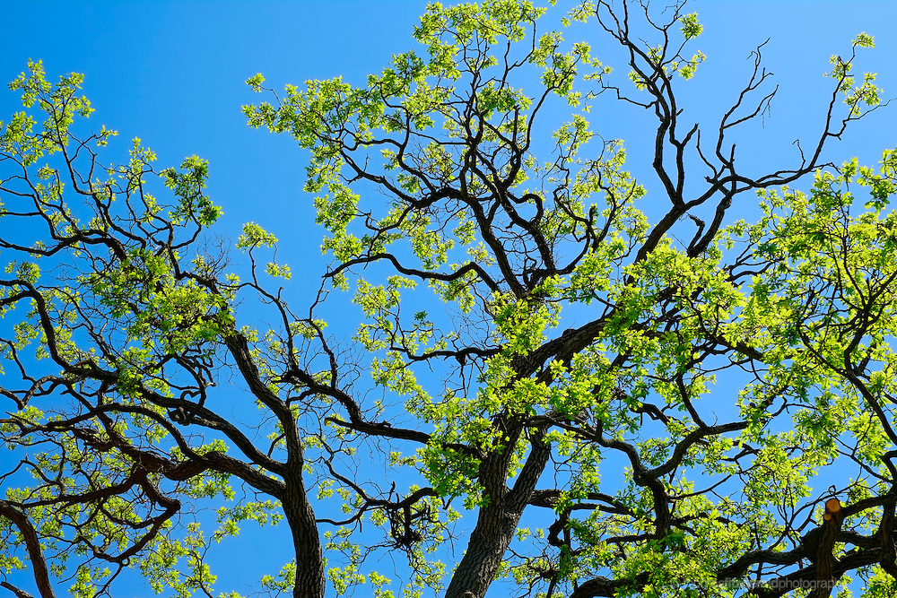 The sun illuminates the bright green leaves of this ash tree against a vivid blue sky