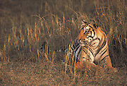 Tiger<br />