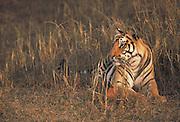Tiger<br /> Panthera tigris<br /> Kanha National Park. INDIA<br /> RANGE: Indian Sub-continent