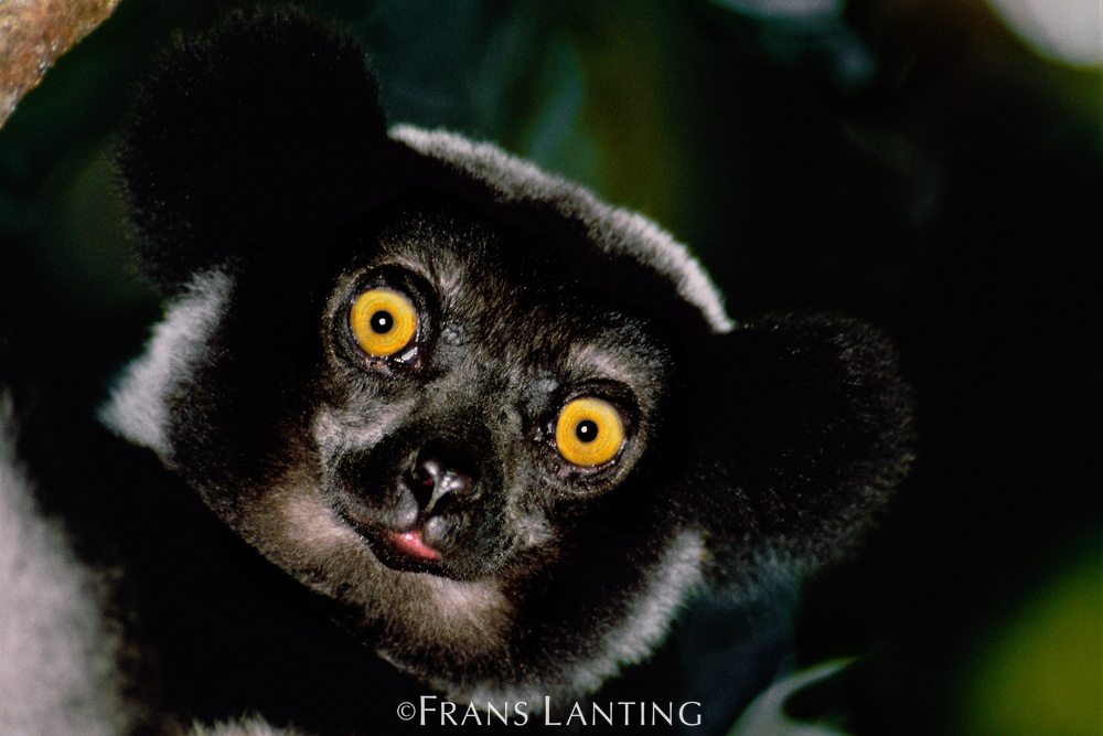Indri male, Indri indri, Madagascar