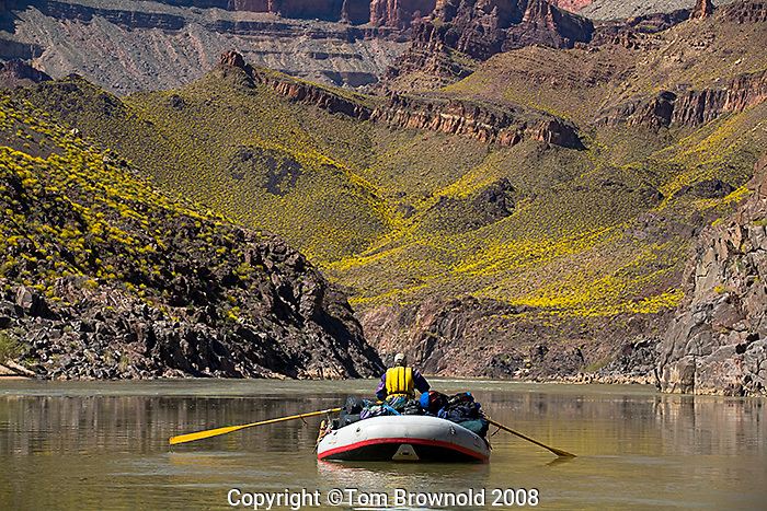 Brittle bush bloom as seen Approaching Bass camp on the Colorado river, mile 108.+/-