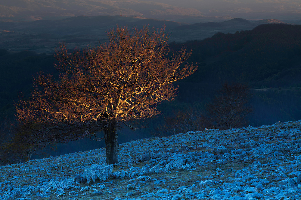 Single Common beech (Fagus sylvatica) tree growing on rocky limestone slope in last evening light. Mehedinti Plateau Geopark, Geoparcul Platoul Mehedinți, Romania.