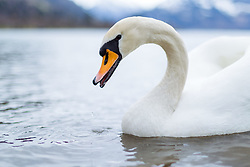 THEMENBILD - ein Schwan schwimmt im Zeller See, aufgenommen am 31.Maerz 2015, am Zeller See, Zell am See, Oesterreich // a swan swims in Lake Zell, Zell am See, Austria on 2015/03/31. EXPA Pictures © 2015, PhotoCredit: EXPA/ JFK