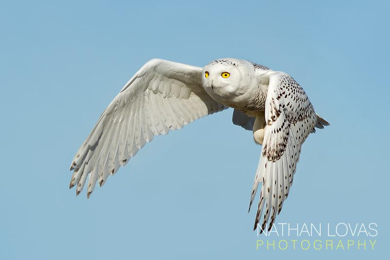 Snowy Owl (Bubo scandiacus) in-flight;  Minnesota.