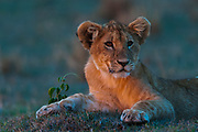 Portrait of a lion cub, Panthera leo, at sunset.