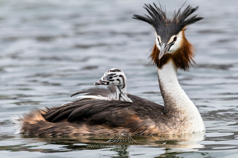 Crested Grebes spend the first three weeks of their lives, or most of it riding the back of the parents.  <br /> <br /> Displaying its ornate head plumes, an Australasian Crested Grebe gives a free ride to its chick at Lake Wanaka, New Zealand.