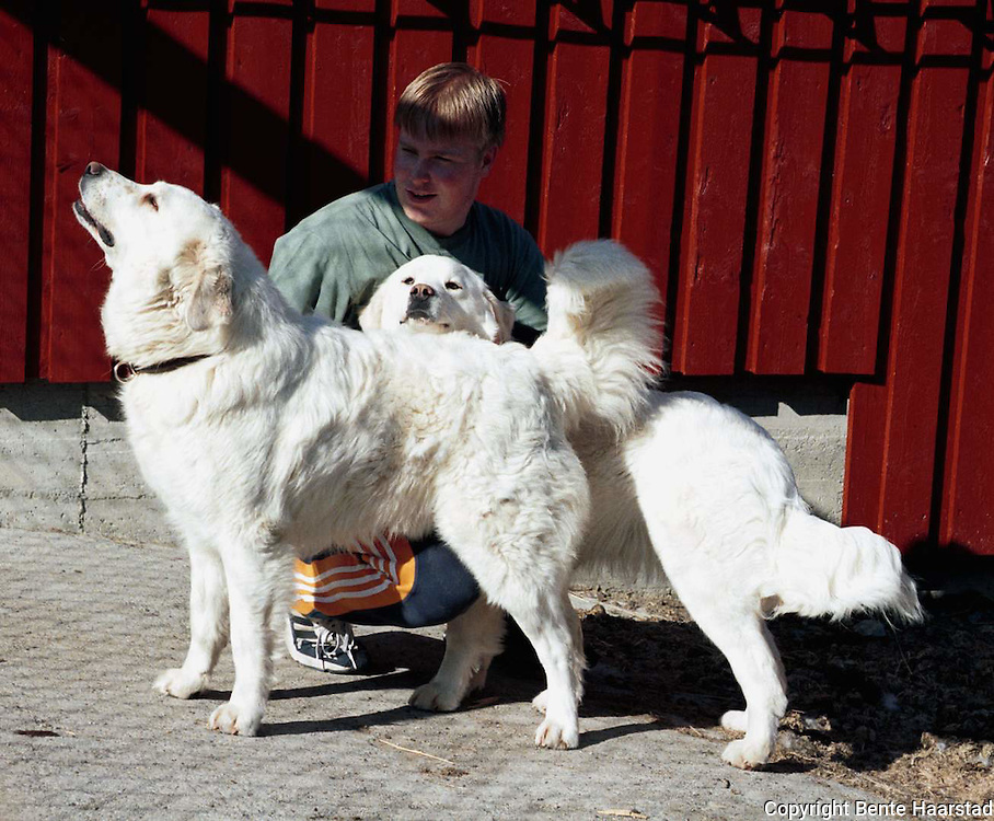 Lars Kristian Hågensen, Lierne, og to polske vokterhunder (tatra-hunder), da vokterhundene først kom til Lierne, mai -98
