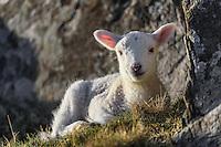 Schaf in Schottland