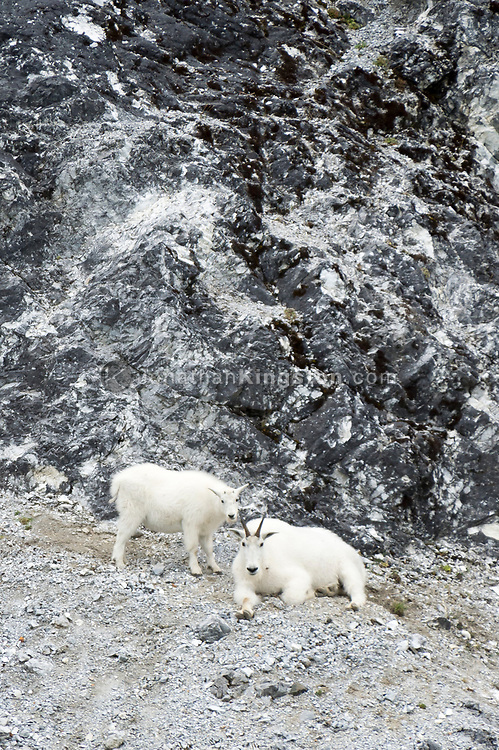 Two mountain goats (Oreamnos americanus) grazing on a cliff face in Glacier Bay National Park, Alaska.