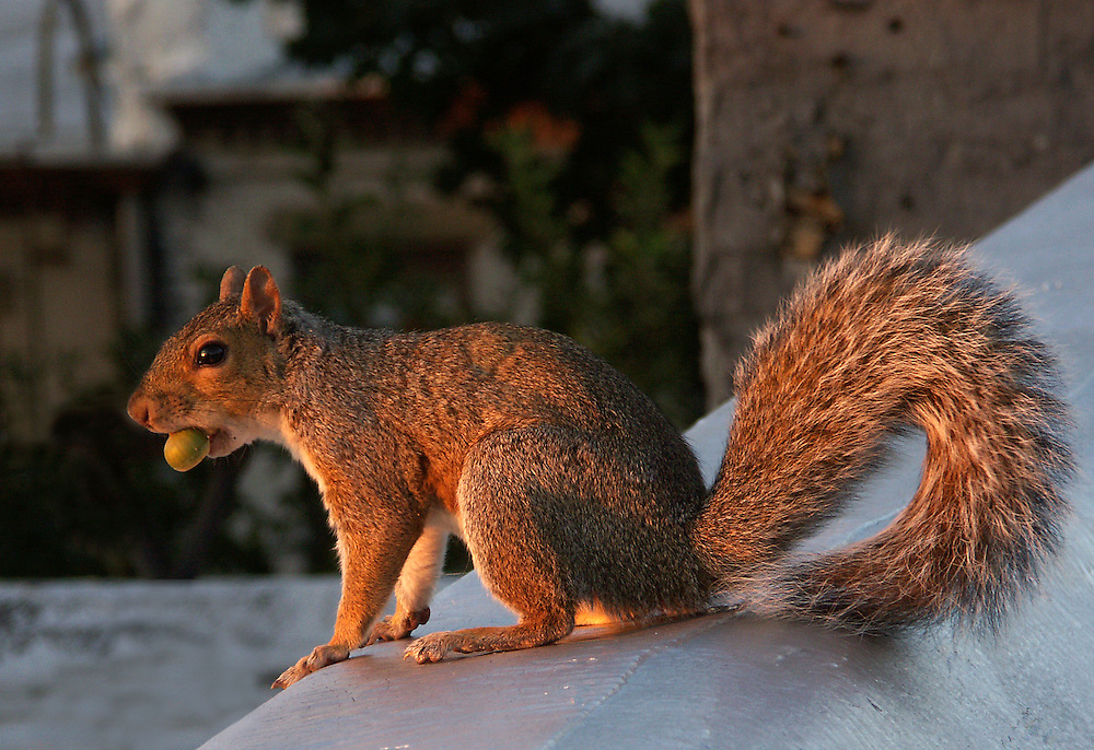 Squirrel with an acorn on my roof at sunset.