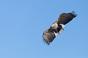 White-tailed Eagle in flight, Akan International Crane Center