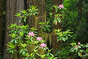 Rhododendron, moss, and and redwood trees; Howland Hill Road, Jedediah Smith Redwoods State Park, Calfornia.