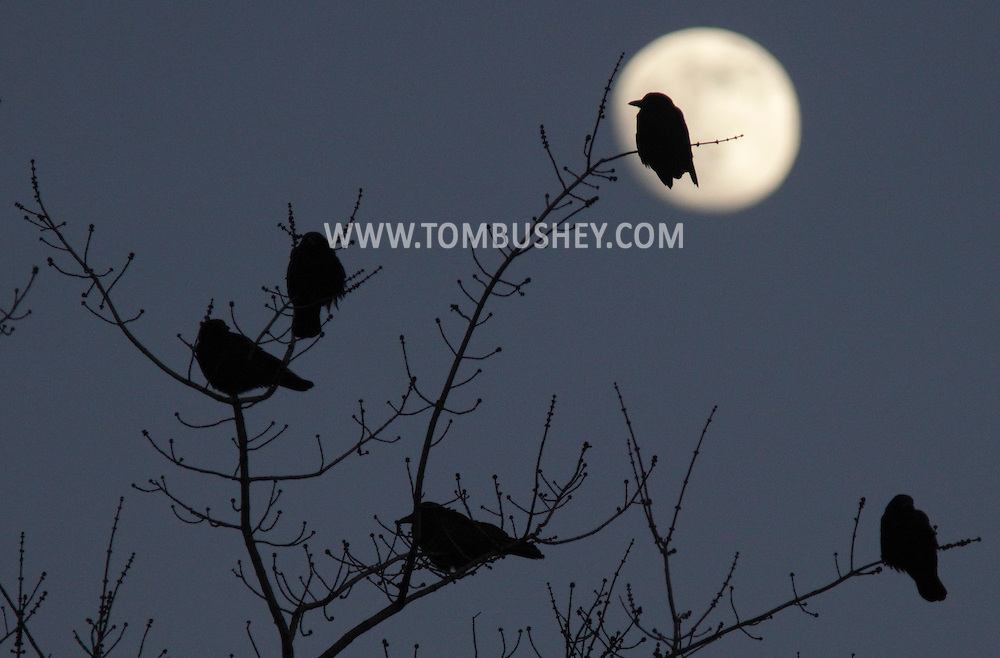 A crow perched on a branch is silhouetted by the moon  by Chorley Elementary School in Middletown on Dec. 29, 2009.
