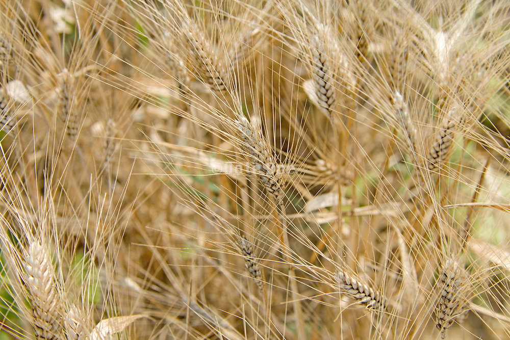 close up of golden ripe wheat stalks