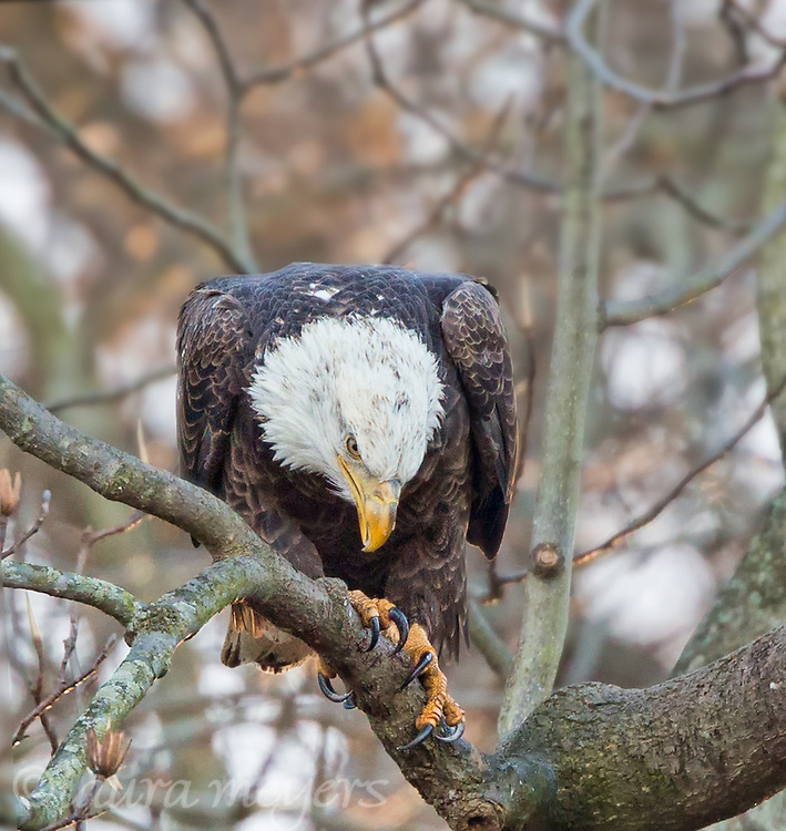 Adult Bald Eagle on Tree Branch at Conowingo Dam in Maryland.
