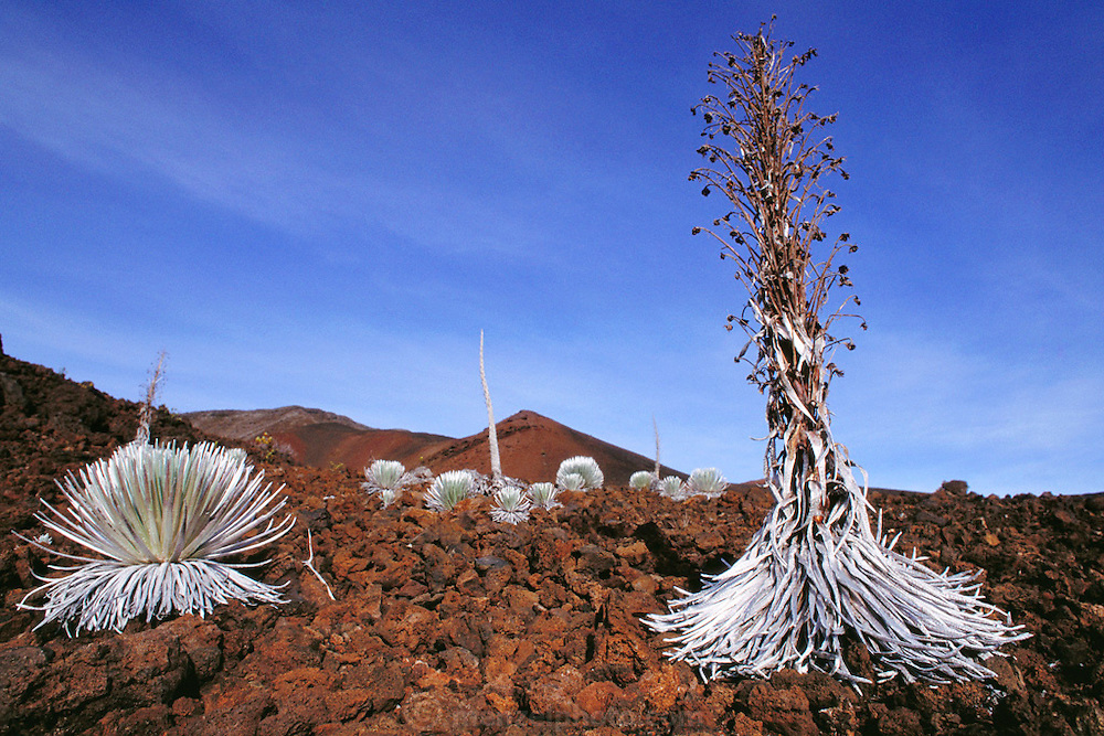 Silversword plants in the crater of the Haleakala Volcano on Maui, Hawaii. USA. These remarkable plants, which bloom only once in thirty years and then die, were nearly wiped out by goats and vandals; they then made a comeback only to face a new threat: Argentine ants. This introduced alien ant species eats the larvae of the native Hawaiian insects, which pollinates the plants, threatening the future survival of the Silverswords.