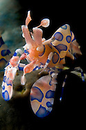 Harlequin Shrimp,Hymenoctera picta, on Seastar, Police Pier Divesite, Lembeh Strait, North Sulawesi