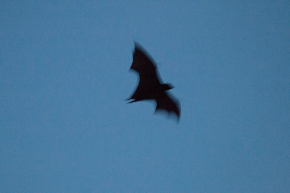 Twilight flight of the fruit bat in motion, Pine Creek, Northern Territory, Australia.