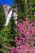 Western Redbud (Cercis occidentalis) under Yosemite Falls, Yosemite National Park, California USA