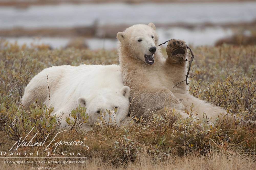 Polar Bear (Ursus maritimus) moher and  cub south of Churchill, Manitoba, Canada.