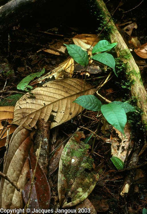 Seedlings in rainforest litter, Chocó Departent, Colombia