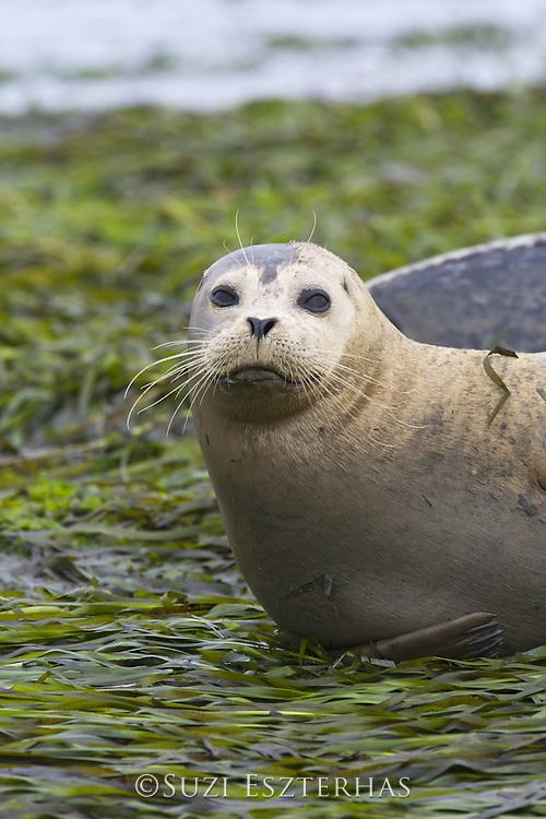 Harbor Seal<br /> Phoca vitulina<br /> Monterey Bay, CA