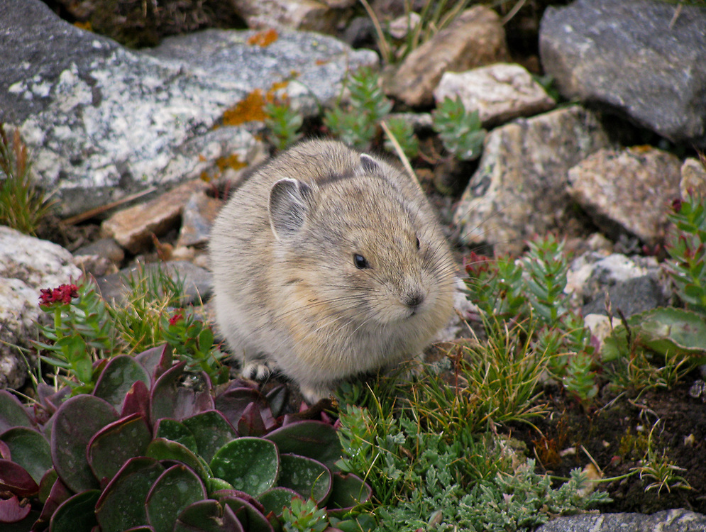 A shot of a cute little mountain pika I saw while hiking.