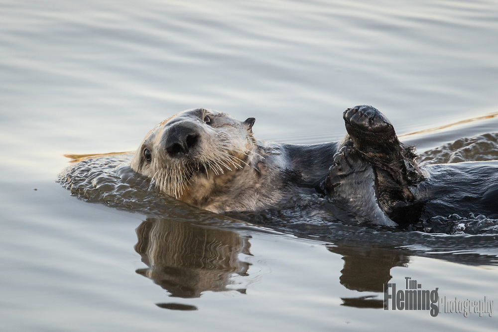 When photograping otters, it is important not to approach too closely. Quite often, the animal's own curiosity will bring them close enough to get a good photo. This otter's relaxed attitude is the end result. Elkhorn Slough, California