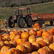 Tractor in Pumpkin field for halloween