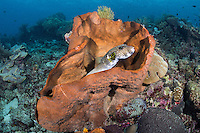 A Pufferfish takes cover inside a sponge<br /> <br /> Shot in Indonesia