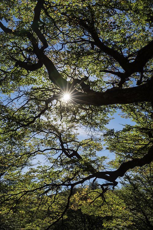 Sunstar through the canopy of lenga trees, Torres del Paine National Park, Chile