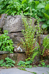 Self sown Dryopteris filix-mas growing in cracks in a dry stone wall at Glebe Cottage. Male fern