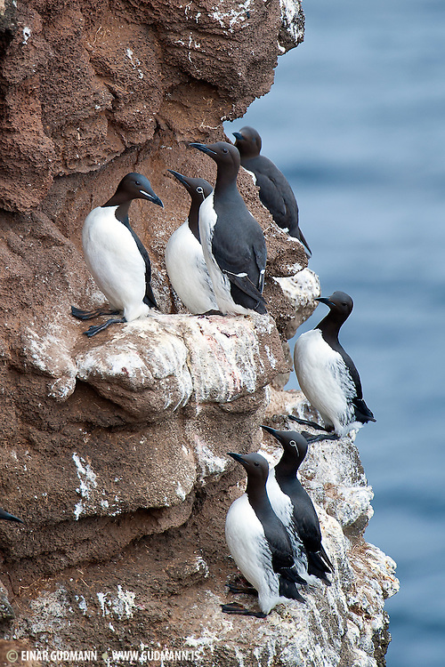 The Thick-billed Murre or Brünnich's Guillemot (Uria lomvia) is a bird in the auk family (Alcidae). This bird is named after the Danish zoologist Morten Thrane Brünnich. The very deeply black North Pacific subspecies Uria lomvia arra is also called Pallas' Murre after its describer..www.gudmann.is