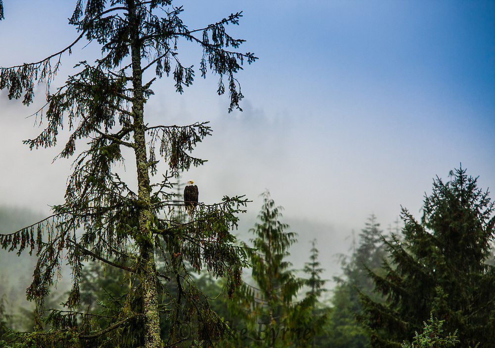 An eagle in the mist.