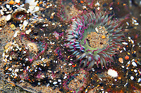 A sea anemone on the Oregon Coast