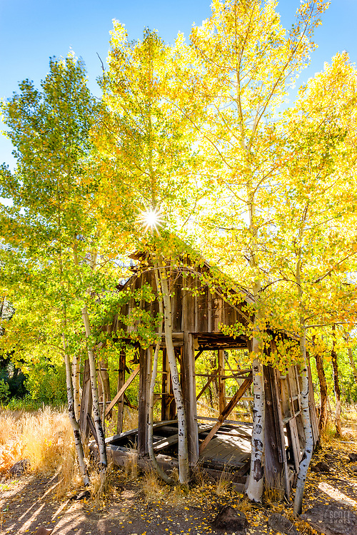 """Shack in the Aspens 9"" - Photograph of an old shack in among aspens with yellow fall colors."