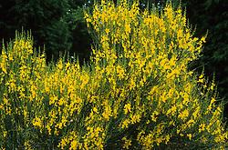 Spartium junceum - Spanish Broom