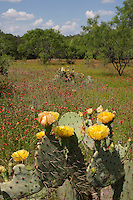 Prickly Pear and Indian Blanket, Llano County