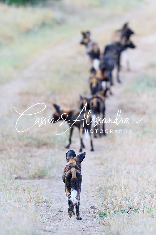 Pack of wild dogs sniffing around down on the road ahead before deciding where to invest their energy on a new frenzy chase for food.