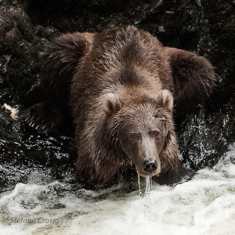 USA, Kodiak Archipelago (AK).Kodiak bear (Ursus arctos middendorffi)