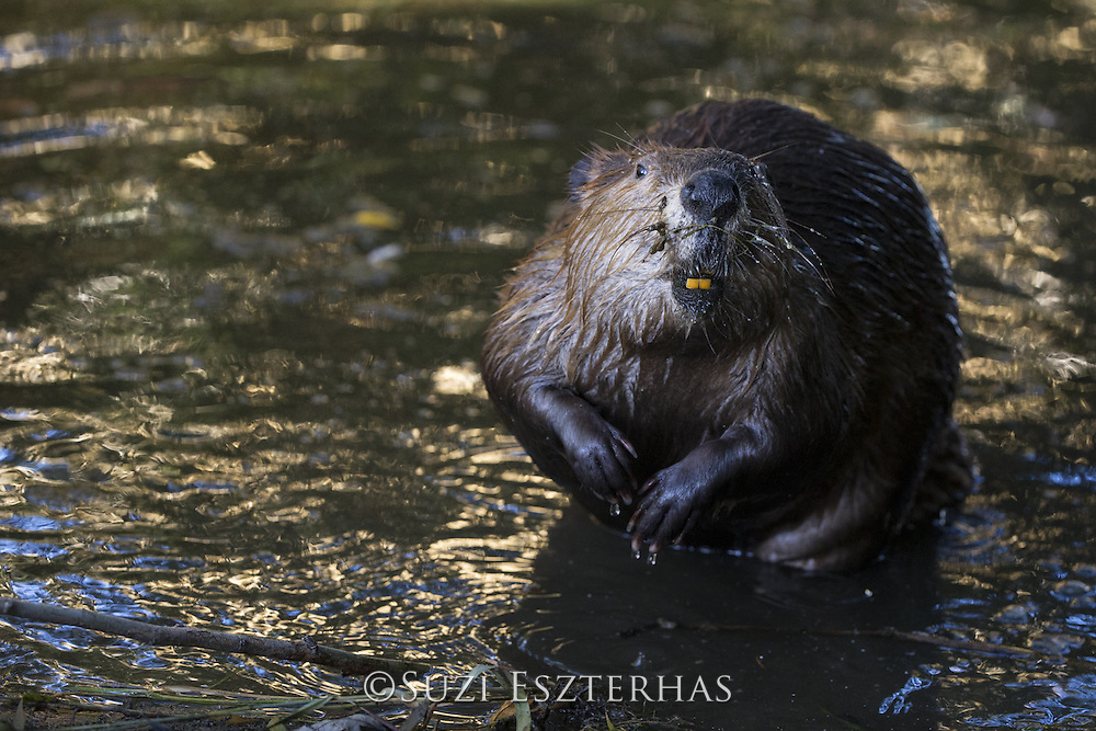 North American Beaver<br /> Castor canadensis<br /> Martinez, CA