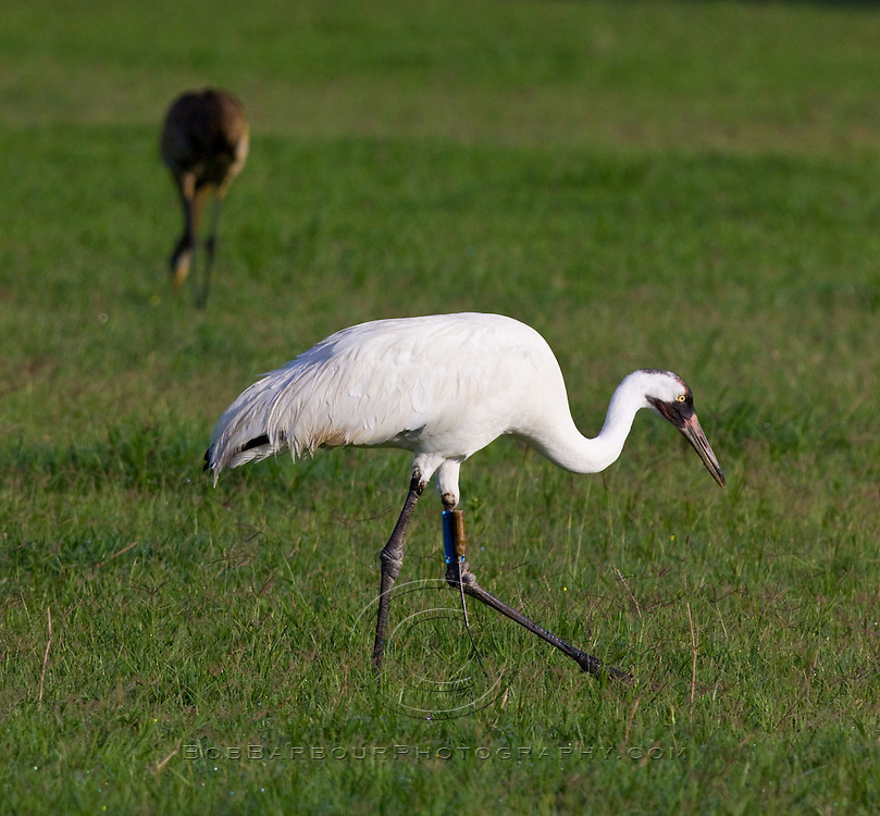 Whooping crane, grus americana, with radio transmitter on leg, sandhill crane in background