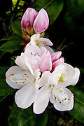 """White Rhododendron with pink buds with the name, """"Walloper"""" photographed in a friend's garden."""