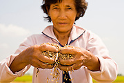 10 MARCH 2006 - TAY NINH, VIETNAM: A woman shucks rice in a field in Tay Ninh province, Vietnam. The rice was harvested months ago and the woman came back to go through the field a final time to look for rice she could sell for extra money for her family. Photo by Jack Kurtz